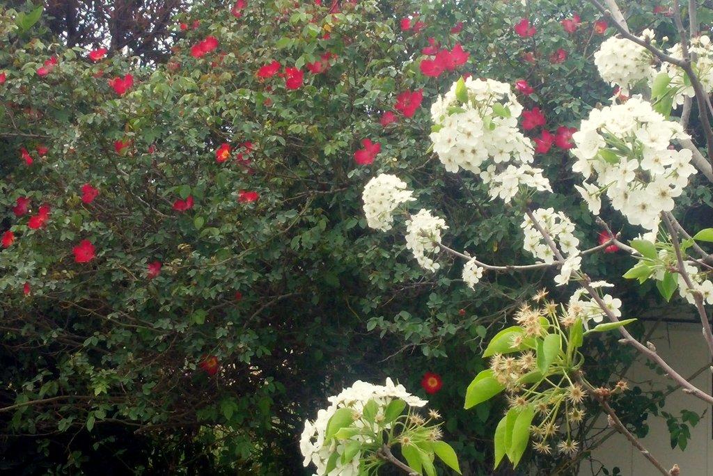 אגס קלריאנה בפריחה